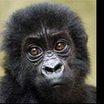 Profile picture of Gorilla